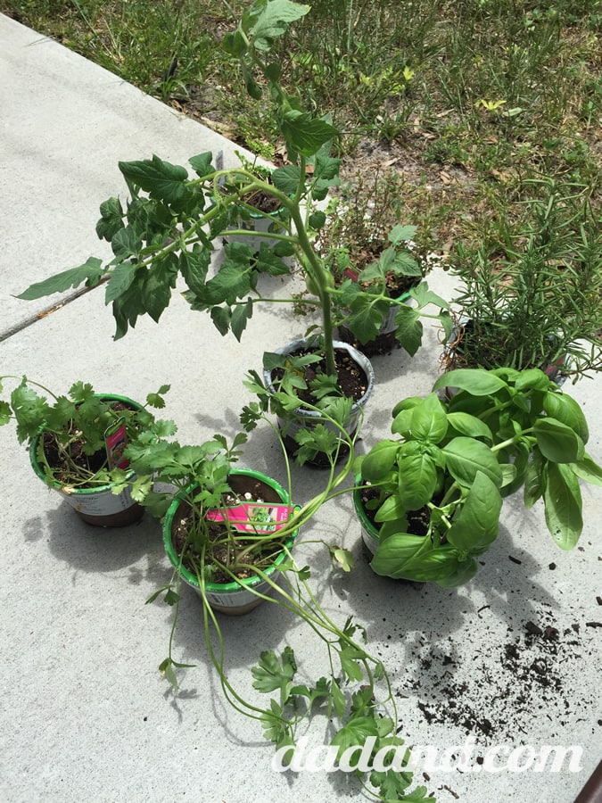 …and seven little herb plants. Well, one is a tomato that I'll put in my existing raised garden bed. So…parsley, rosemary, basil, some other kind of parsley, cilantro and one other thing that I don't remember what it is.